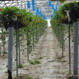 Des déchets chauffent des serres agricoles